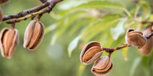 Ripe almonds on the tree branches.