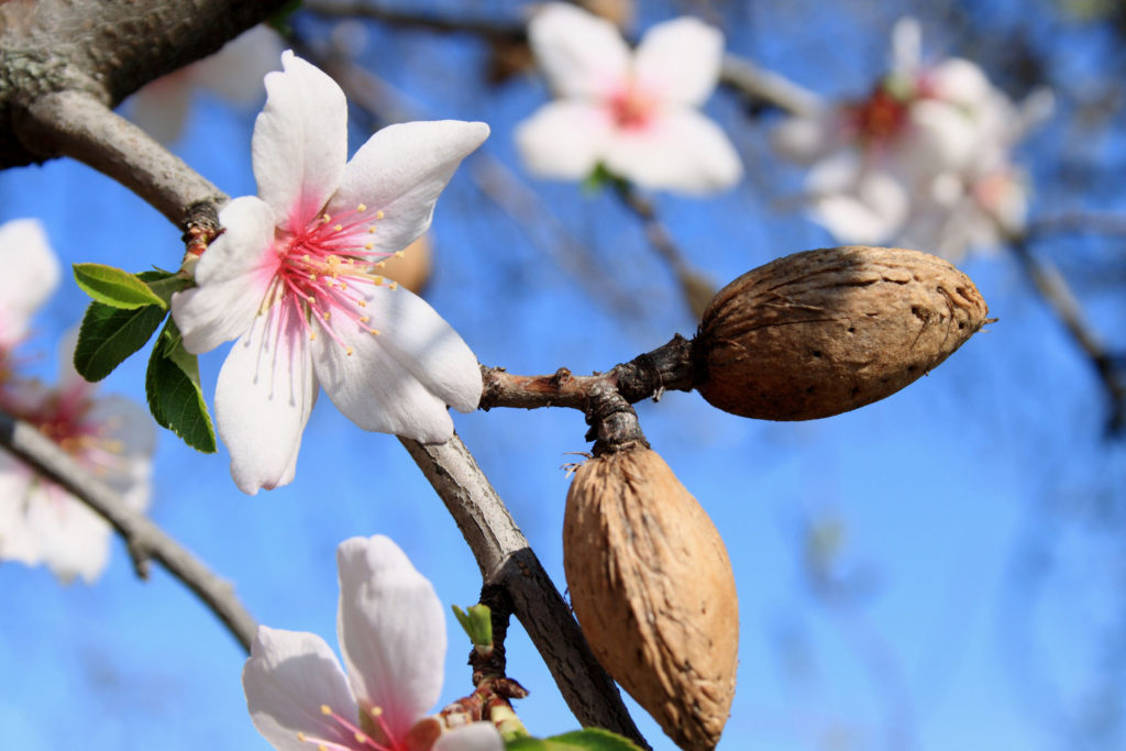 The vernal blooming of an almond